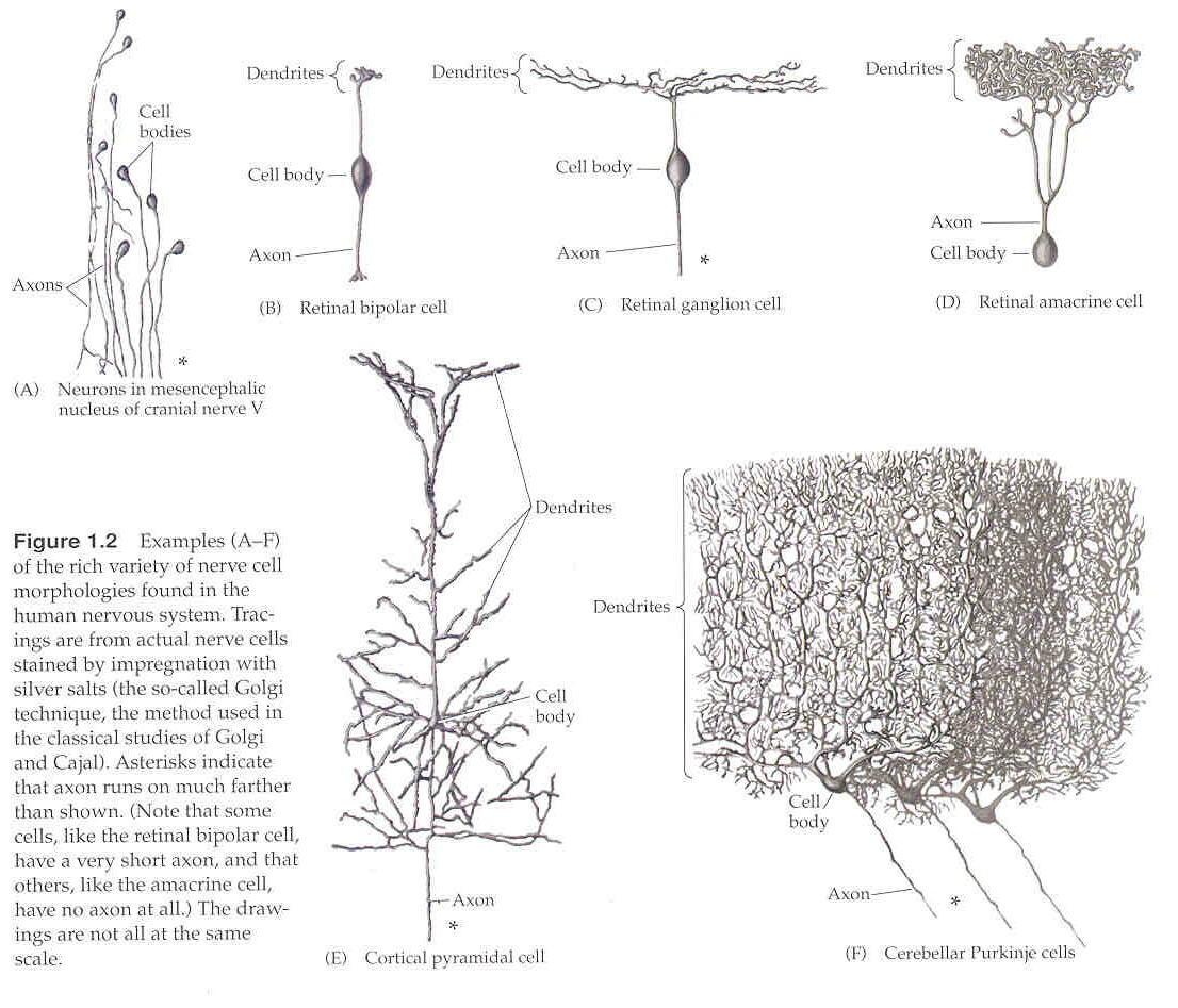 blank_dendrite-rhizome-branches